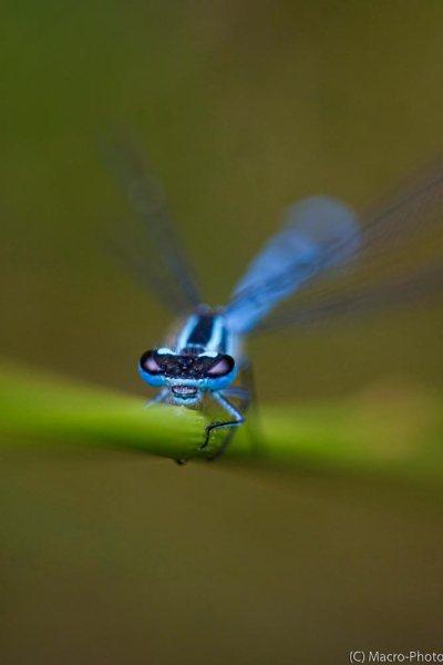 Azure Damslefly.