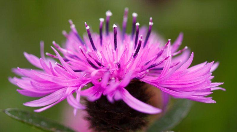 Knapweed flower head