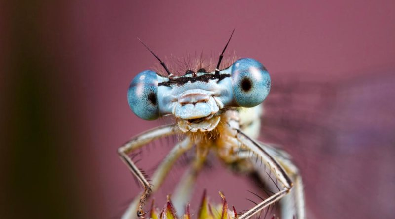 White-legged Damselfly against Pink
