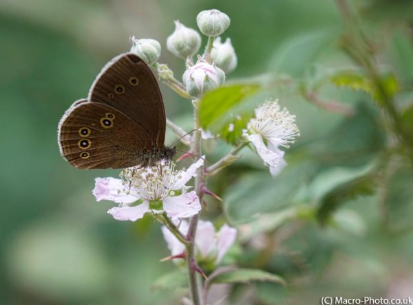 Ringlet on Bramble.