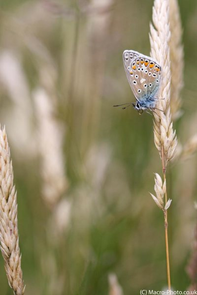 Silver-studded Blue.