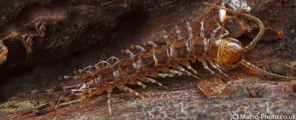Pano Stitch of Centipede