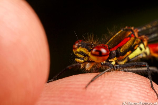 Large Red Damselfly on my finger.