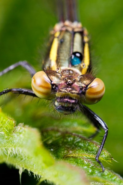 Large Red Damselfly and Rain Portrait I