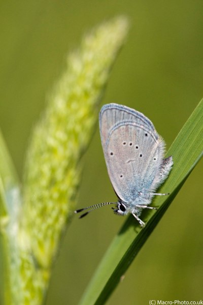 Small Blue on Grass Stalk.