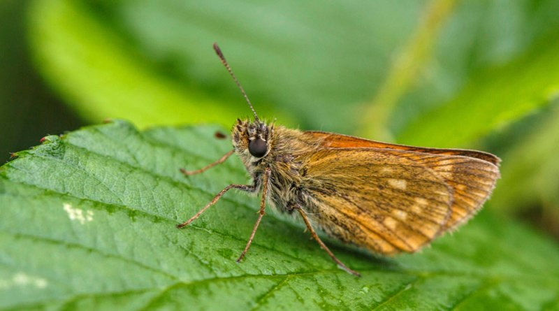 Large Skipper.