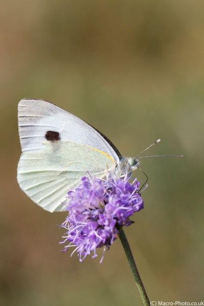 Large White(1)
