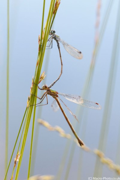 Mating Emerald Damselflies.