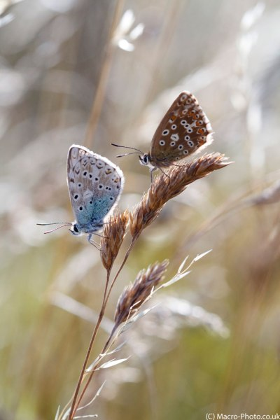 Chalkhill Blue Pair on grass stem.