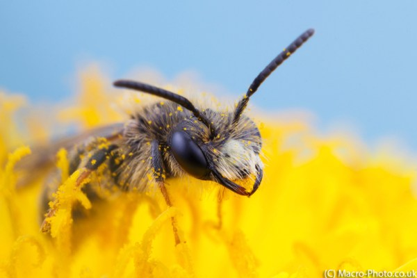 Solitary Mining Bee with Blue Sky