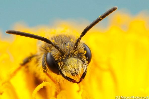 Solitary Mining Bee Head