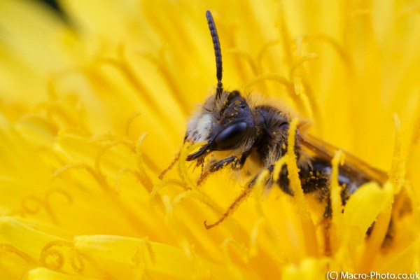 Solitary Bee in Dandelion