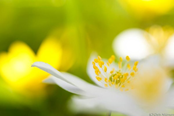 Wood Anemone and Celandine Abstract