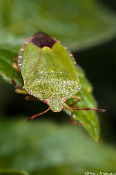 Green Shield Bug (2)