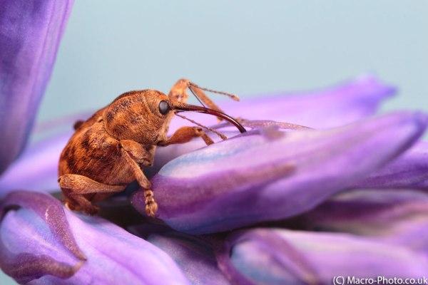 Nut Beetle on Bluebells (5)