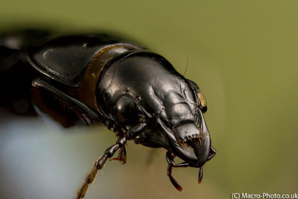 Pterostichus melanarius beetle at 2x Magnification.