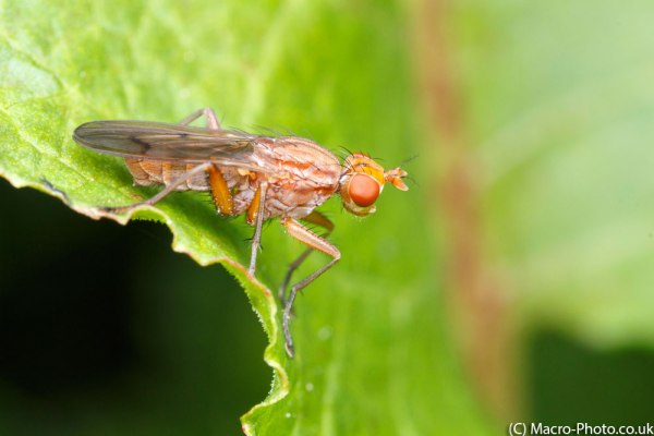 Fly- possible Renocera pallida