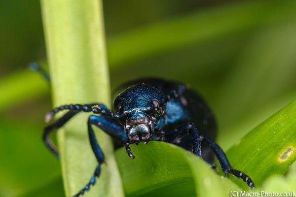 Meloe violaceus(3) (Violet Oil Beetle)