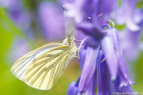 Green-veined White Butterfly(2)