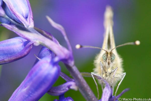 Green-veined White Butterfly(5)