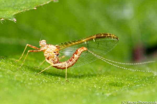 Mayfly - Cloeon dipterum