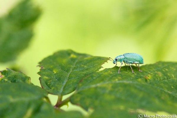 Nettle Weevil