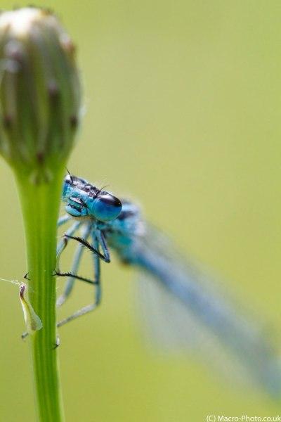 Common Blue Damselfly up close