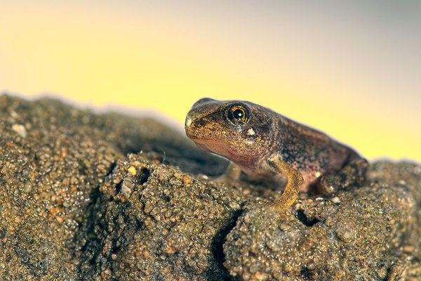 Froglet - Sunlight Restyle