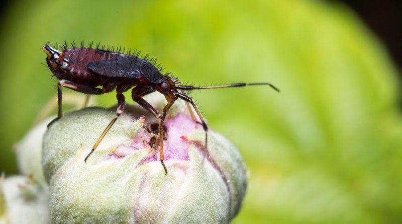 Red Bug Feeeding on Plant