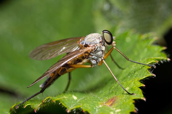 Marsh Snipe Fly