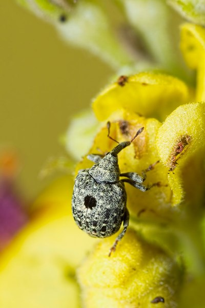 Cionus hortulanus Weevil (5)