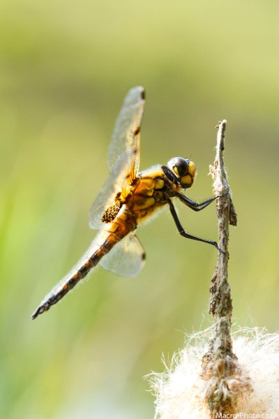 Four-spotted Chaser (3)