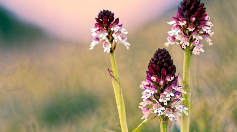 Burning Tips - Burnt Tip Orchids