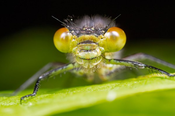 Female Red-eyed Damselfly Head on