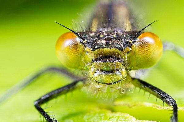 Female Red-eyed Damselfly Head on (2)