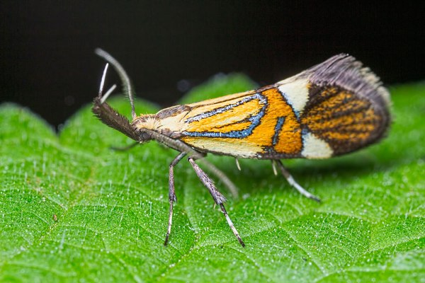 Common Tubic Moth