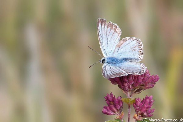 Chalkhill Blue taken at F11 with Photoshop 2014 Blur Filter Applied