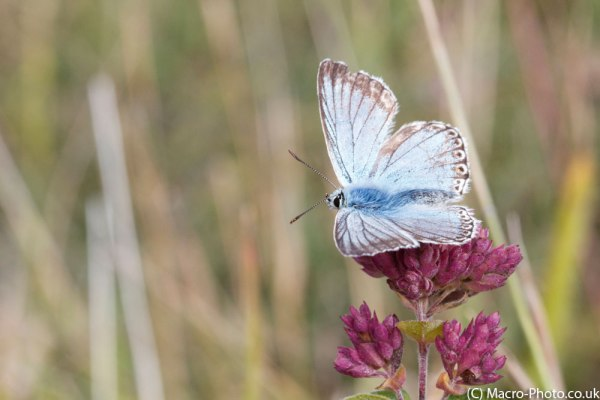 Chalkhill Blue taken at F11