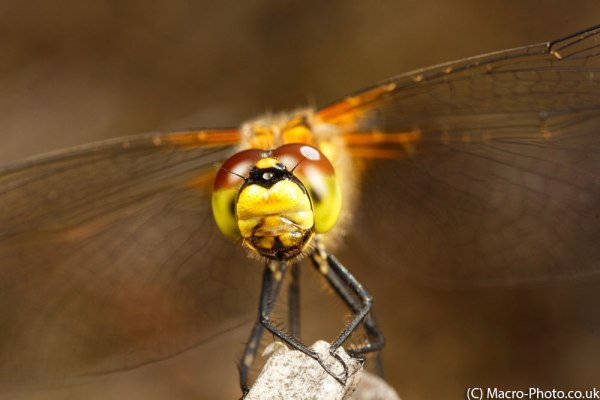 Female Black Darter MPE-65mm (3)