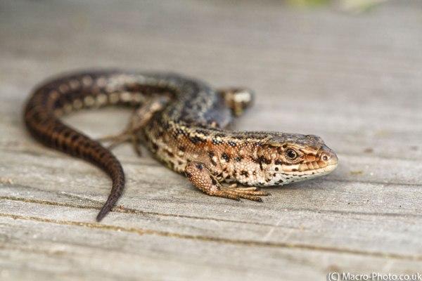 Lizard Basking on the boardwalk