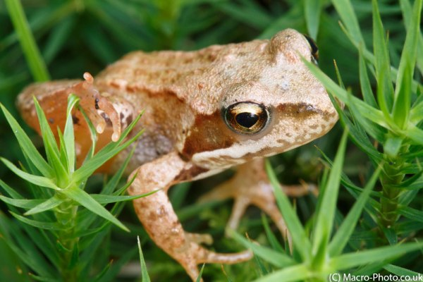 Small Frog in Moss(2).