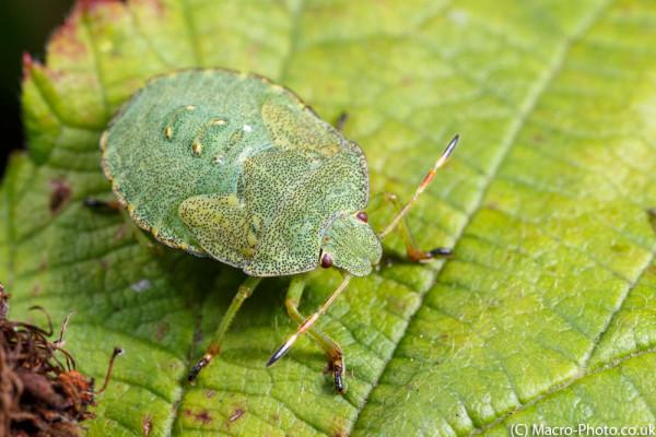 Green Sheildbug