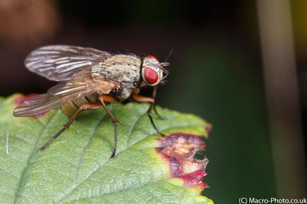 Fly on bramble leaf