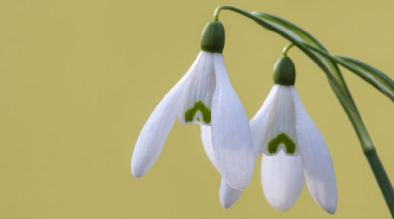 Snowdrops on Yellow