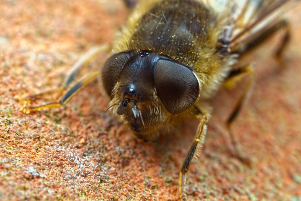 Hover Fly Eyes (2)