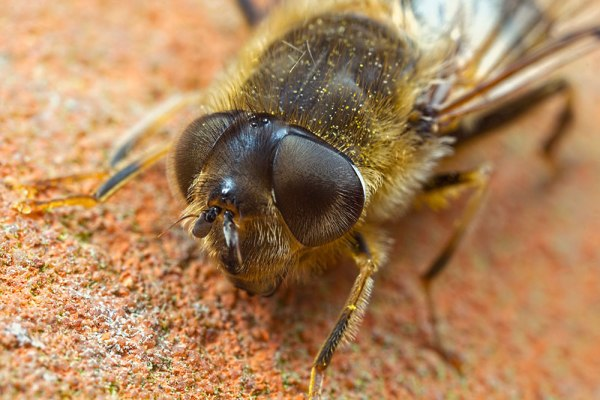 Hover Fly Eyes (1)