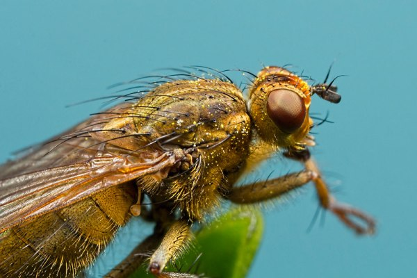 Common Yellow Dungfly