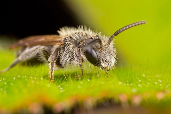 Small Bee @ about 3x Magnification