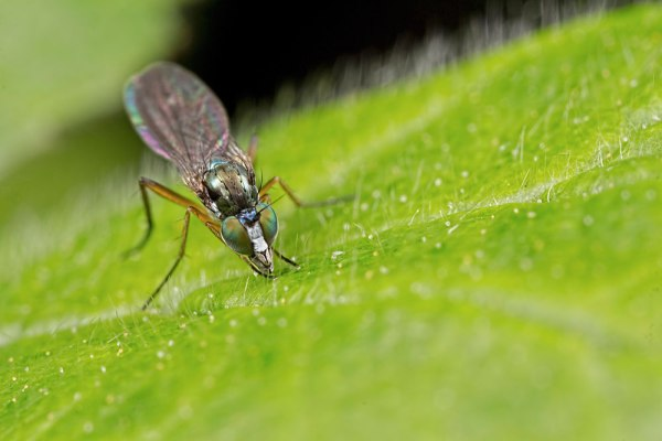 Green eyed fly (2)
