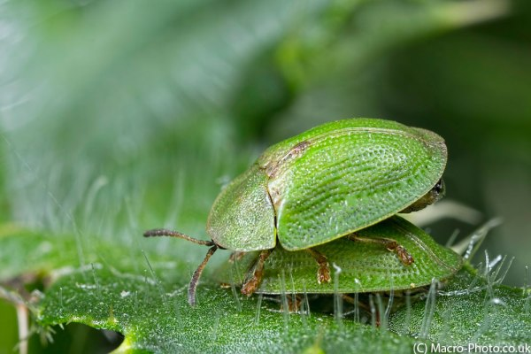 Tortosie Beetles - 2 Images Stacked